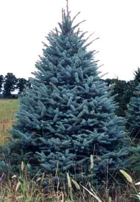 colorado blue spruce pining for the perfect tree here are 5 of most por